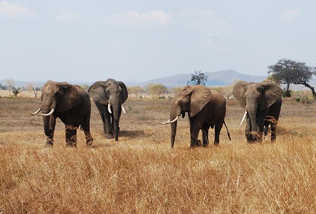 elefantes-en-mikumi
