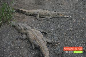 cocodrilos costa rica
