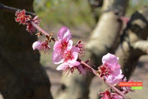 flores de melocotón