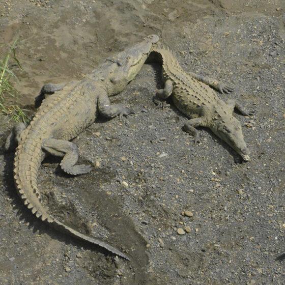 puente de los cocodrilos en costa rica
